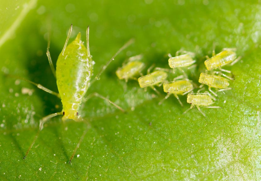 How to Control Aphids in your Greenhouse - Growing Spaces Greenhouses