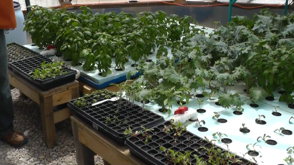 aquaponics in greenhouse