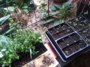 Transplanting Vegetables and Starts in a Greenhouse for spring planting season