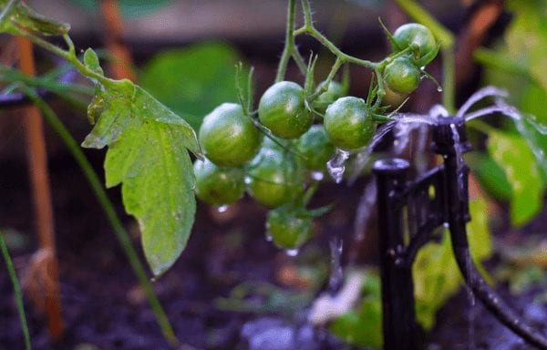 small tomatoes in farm to table restaurant greenhouse