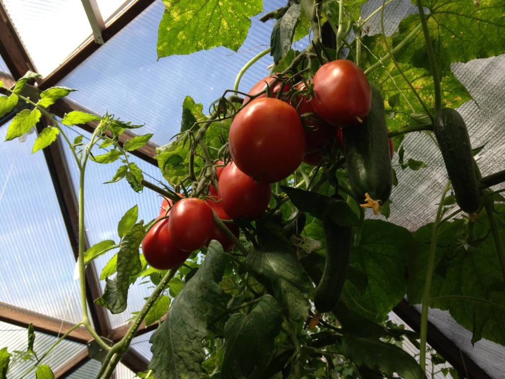 Fresh Tomatoes off the vine in a Growing Dome Greenhouse