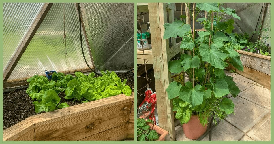 Tomatoes and lettuce in Maine Greenhouse