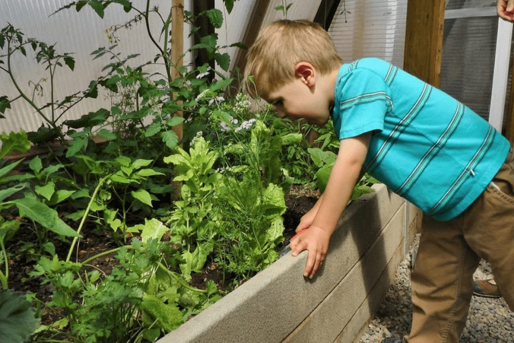 Kids eating vegetables off the vine from the greenhouse