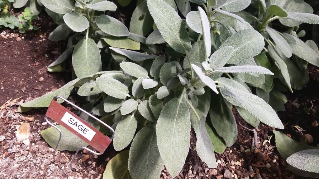 Culinary Sage in the Winter Greenhouse