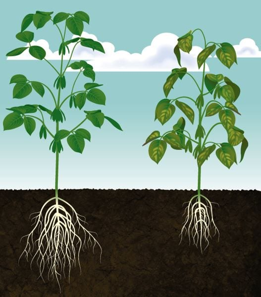 Root health is key to prevent powdery mildew