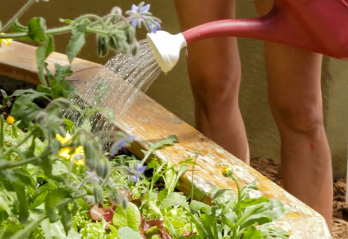 Watering is key to prevent powdery mildew