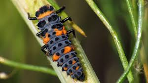 Lady Bug Larva also known as alligator
