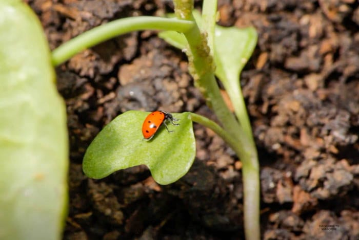ladybugs help get rid of aphids