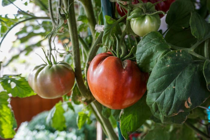 tomatoes in garden greenhouse