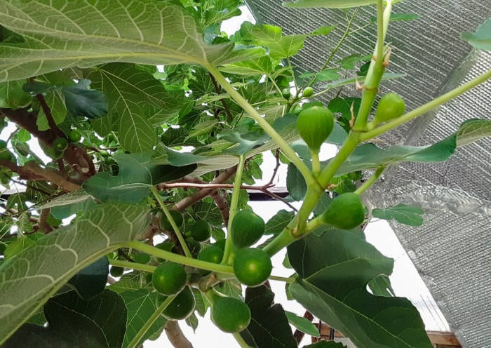 Growing a Fig Tree