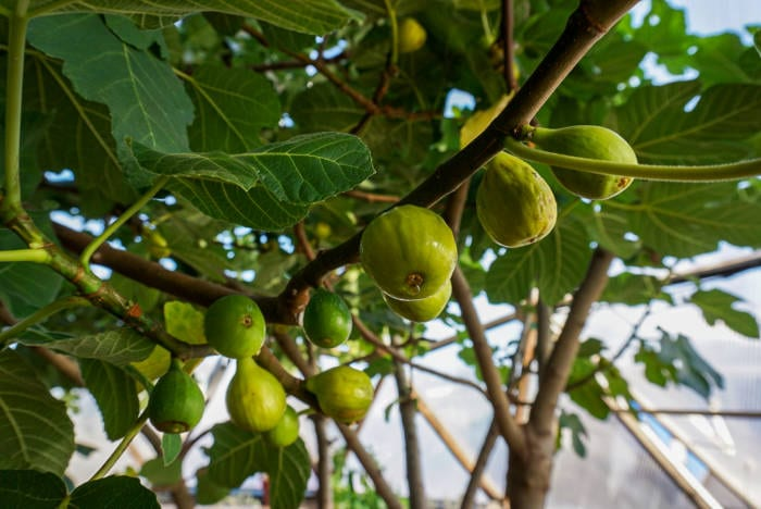 Fig Tree Ready to Harvest