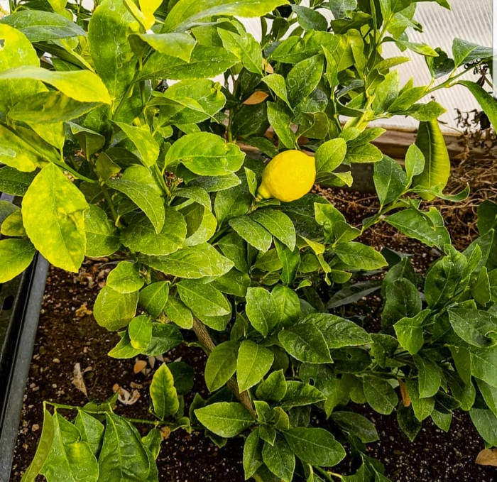 Meyer Lemon Tree in a Dome Greenhouse