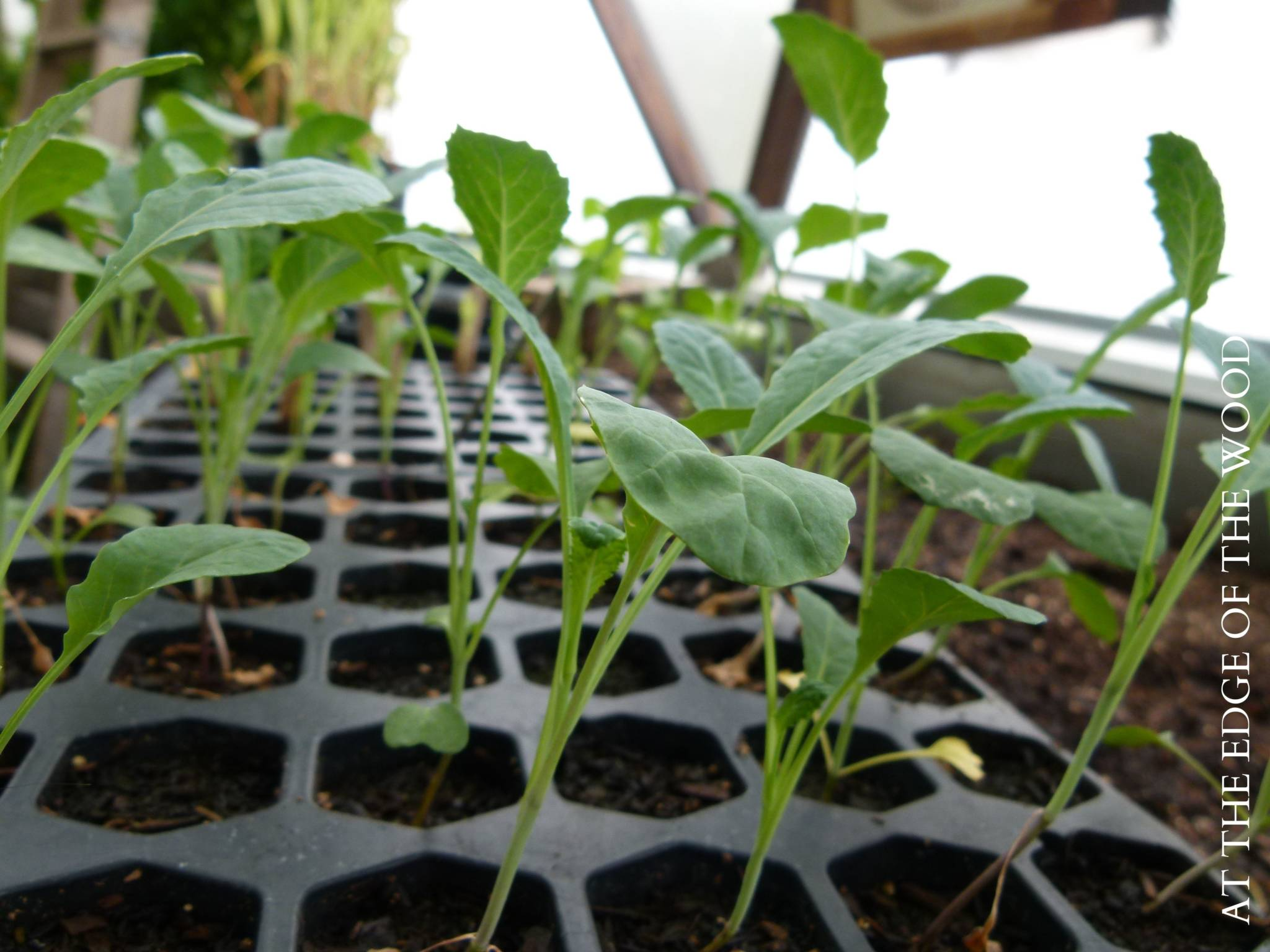 Thin Seedlings