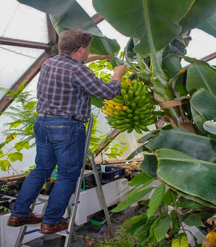 Banana tree in greenhouse dome in Sweden
